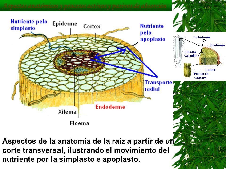 Bonito Anatomía De La Raíz Del Cabello Modelo - Anatomía de Las ...