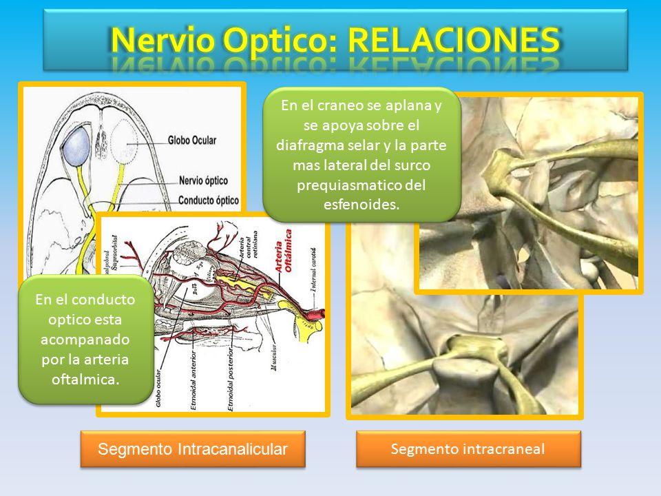 Asombroso Anatomía Del Nervio óptico Ornamento - Imágenes de ...