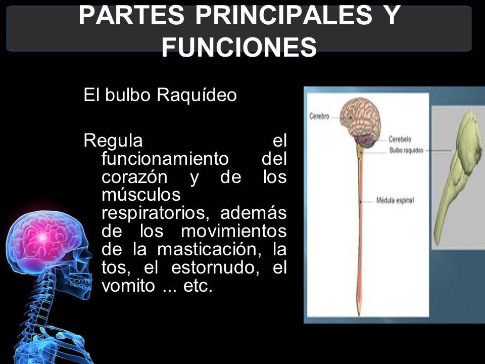 Sistema Nervioso Juan Camilo Godoy Bautista O M M Ppt Descargar