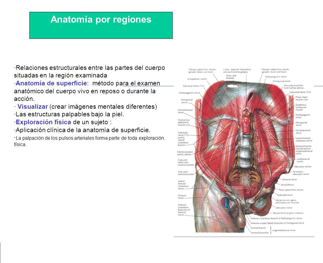 Atractivo S Ancho Anatomía Macroscópica Embellecimiento - Imágenes ...