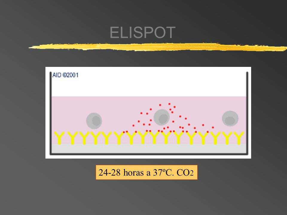 ELISPOT 24-28 horas a 37ºC. CO2