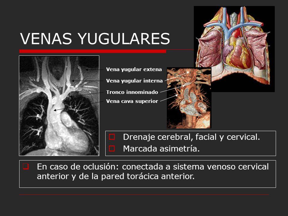VENAS YUGULARES Drenaje cerebral, facial y cervical. - ppt descargar