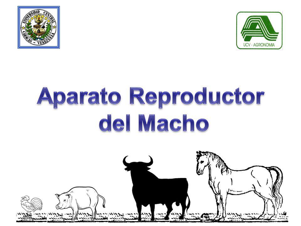Aparato Reproductor del Macho. - ppt descargar