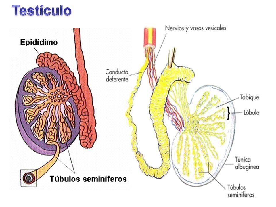 Excelente Epidídimo Anatomía Testiculares Festooning - Anatomía de ...