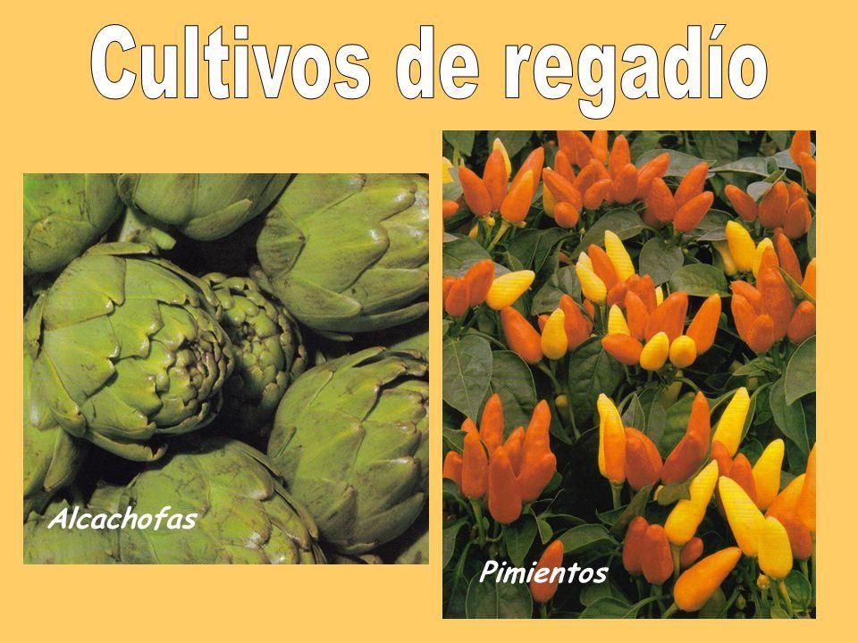 Las plantas Tipos de cultivos Secano Regadío Cereales