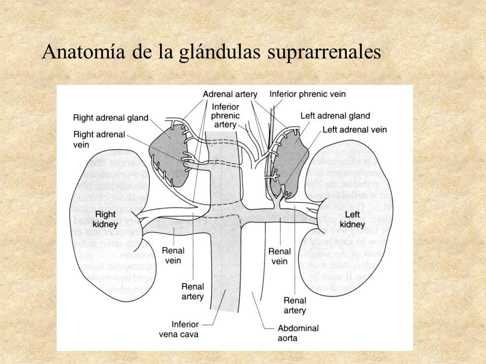 Fisiología Tiroidea y Suprarrenal - ppt video online descargar