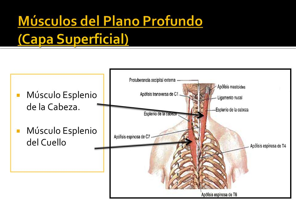 Miología de la Columna Vertebral - ppt descargar