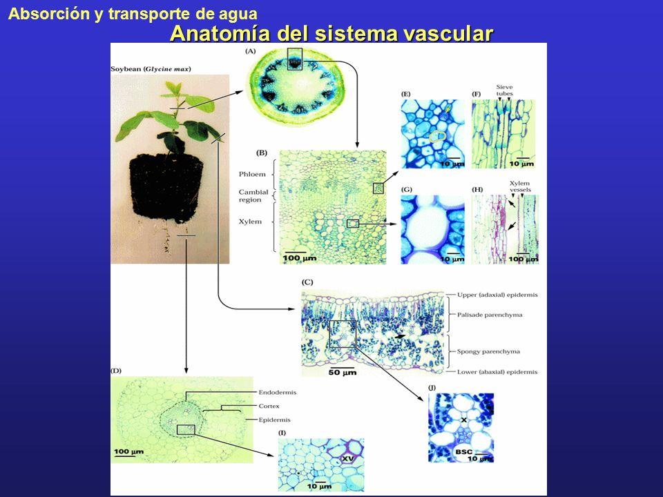 Anatomía del sistema vascular - ppt descargar
