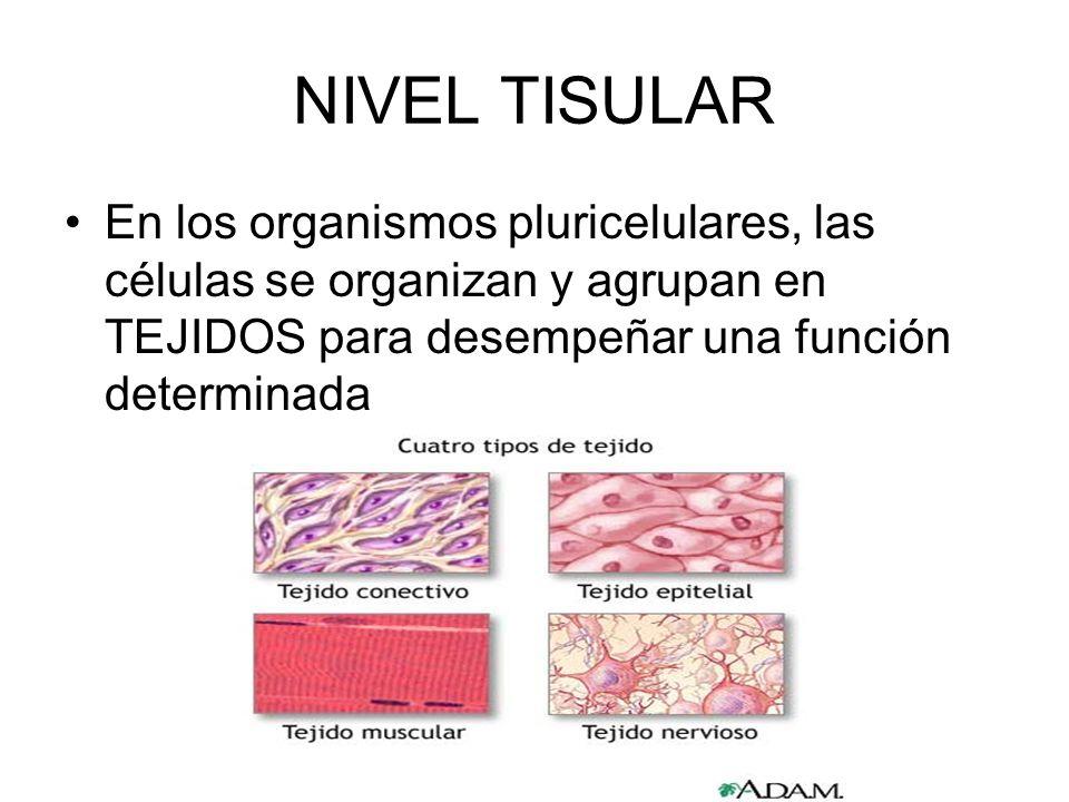 Niveles de organizacion del cuerpo humano tisular