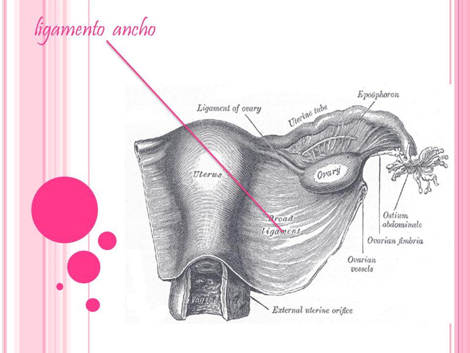 Anatomía del útero. - ppt descargar