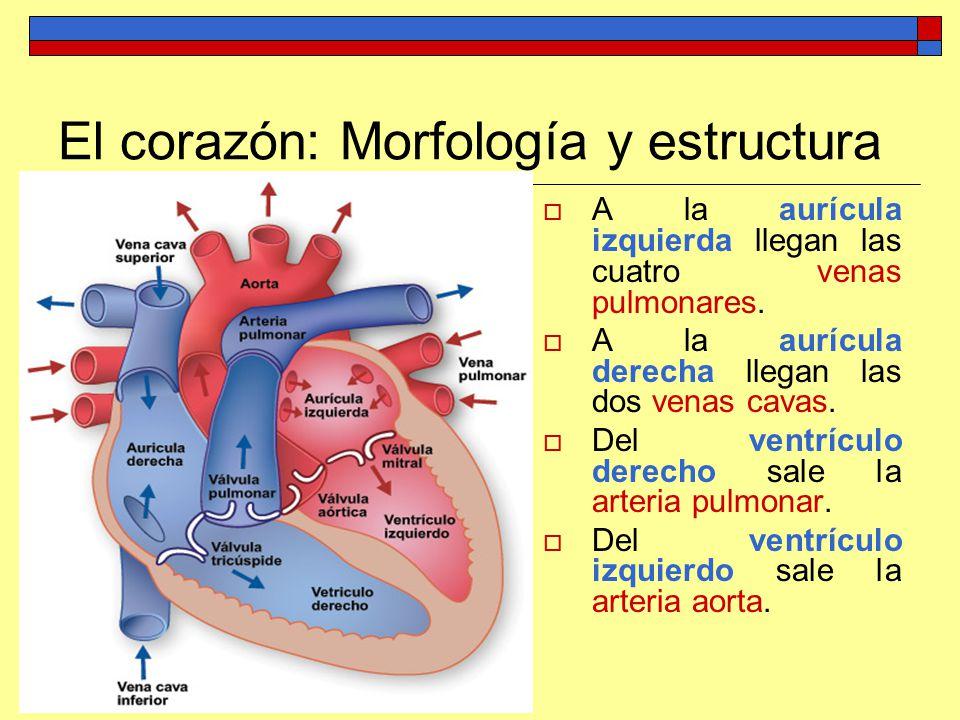 Anatomía y fisiología del aparato circulatorio Profesor: Francisco ...