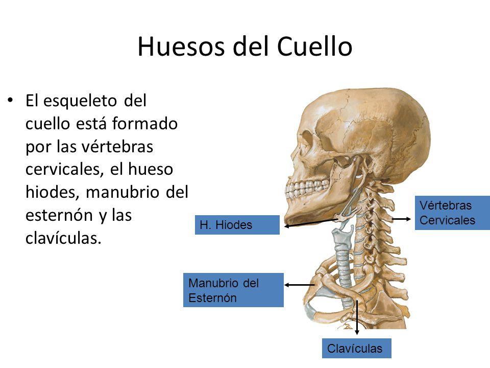 Famoso Huesos Del Cuello Bandera - Imágenes de Anatomía Humana ...