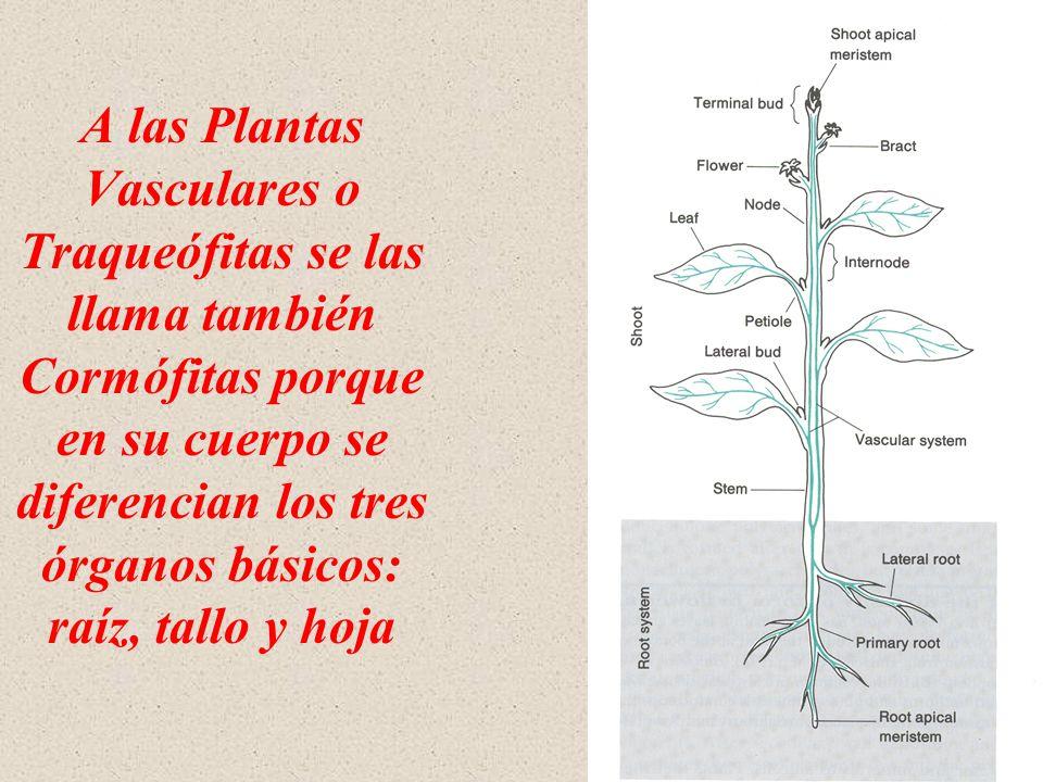 Las Plantas Vaculares Clase 1 Introducción. - ppt video online descargar