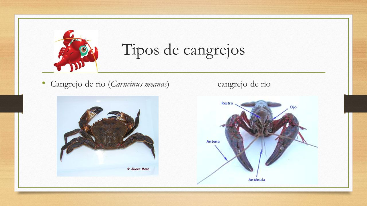 Phylum Arthropoda Subphylum Crustáceo. - ppt video online descargar