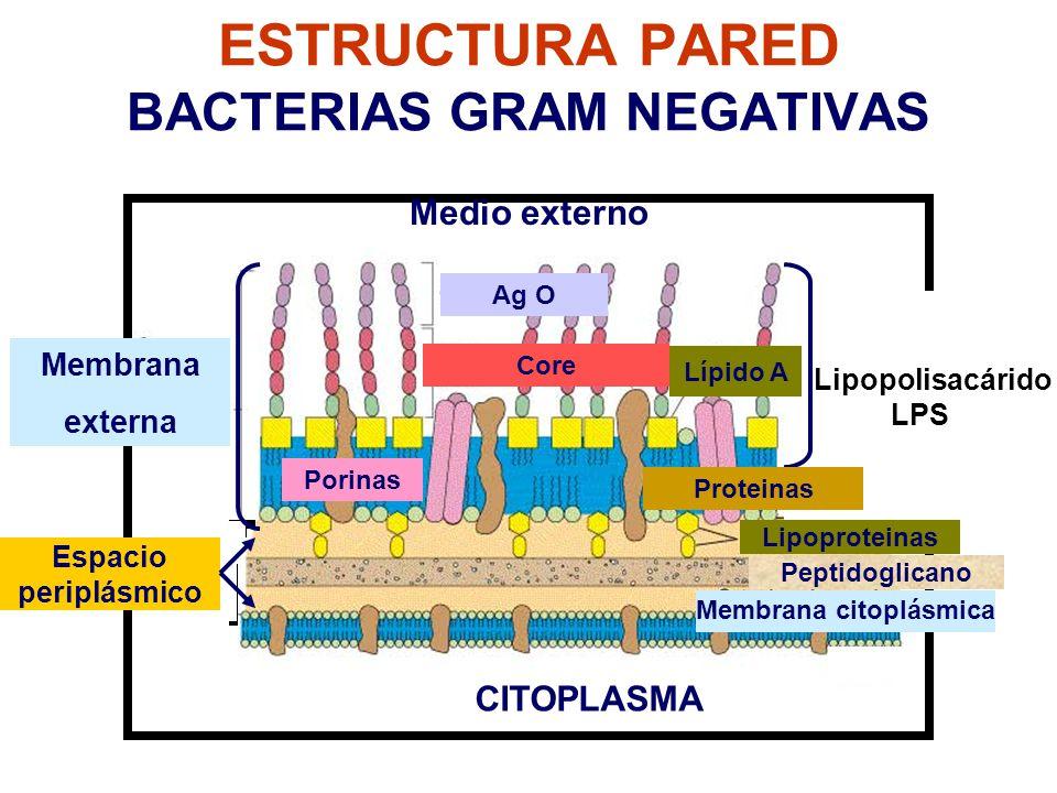 Estructura Y Morfología Bacterianas Ppt Video Online Descargar