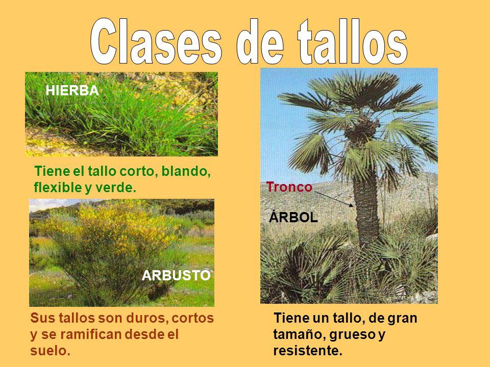 Las plantas clases de rboles clases el almendro de tallos for Plantas arbustos de hoja perenne