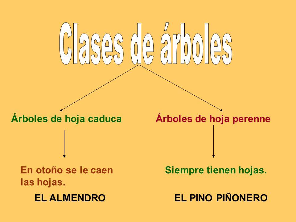 Las plantas clases de rboles clases el almendro de tallos for Arboles de hoja perenne en galicia