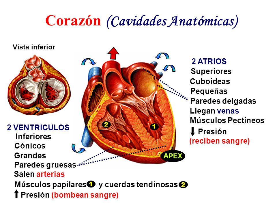Sistema Cardiovascular - ppt video online descargar