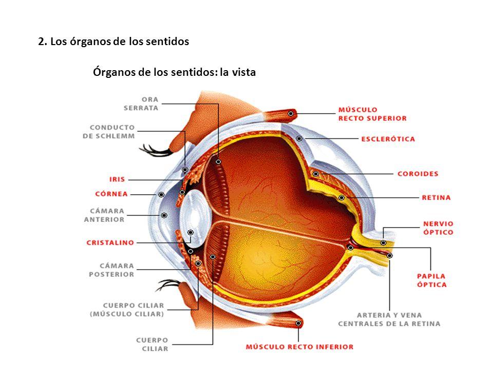 Único Vista De órganos Composición - Imágenes de Anatomía Humana ...