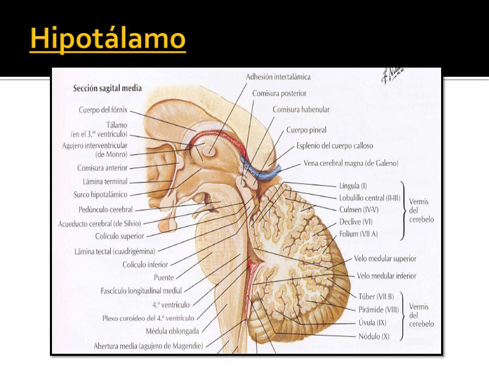 Famoso Comisura Posterior Ornamento - Imágenes de Anatomía Humana ...