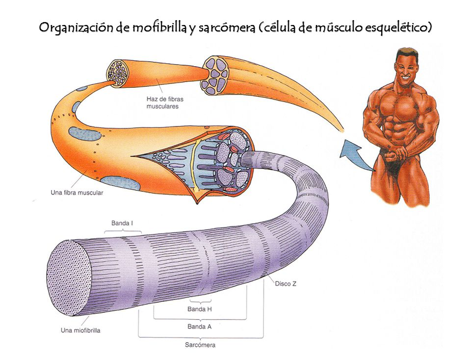 Tejido muscular Módulo I, ppt video online descargar