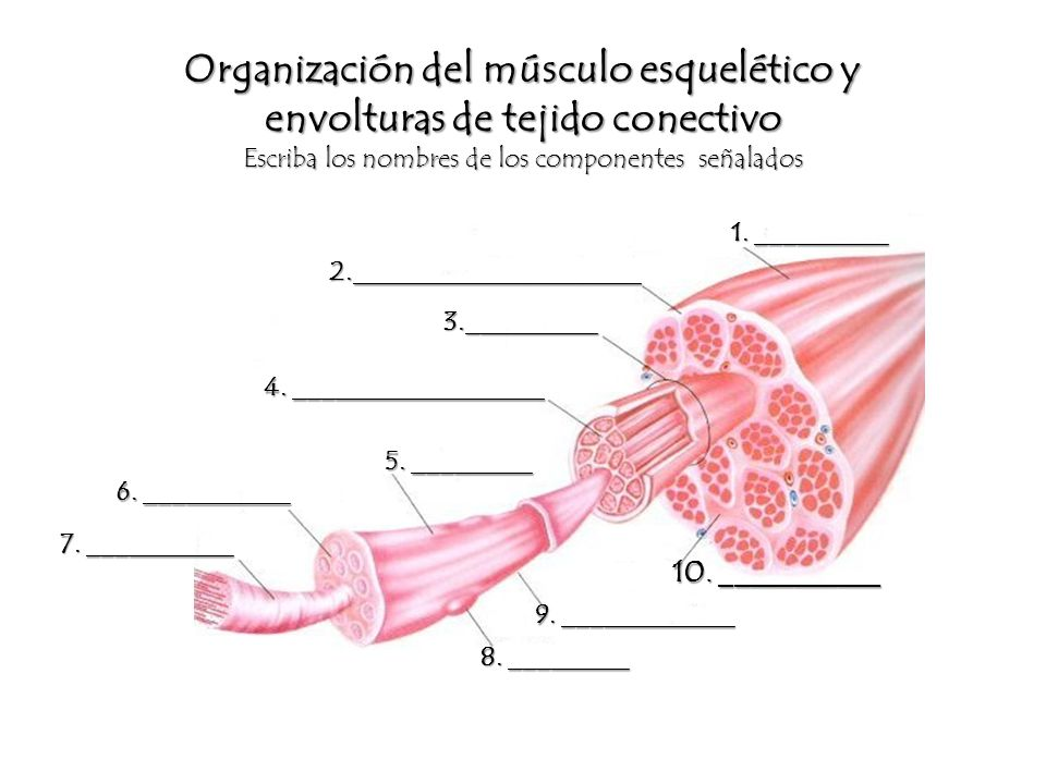 Tejido muscular Módulo I, ppt video online descargar