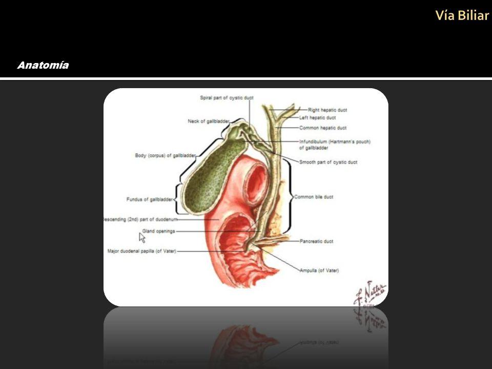 Asombroso Anatomía Del Conducto Biliar Ideas - Anatomía y Fisiología ...