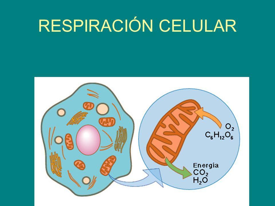 Respiración Celular Ppt Descargar
