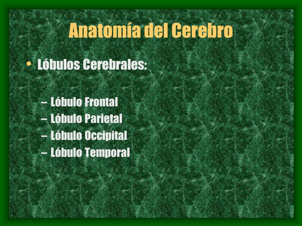 Anatomía del Cerebro Lóbulos Cerebrales: Lóbulo Frontal - ppt descargar