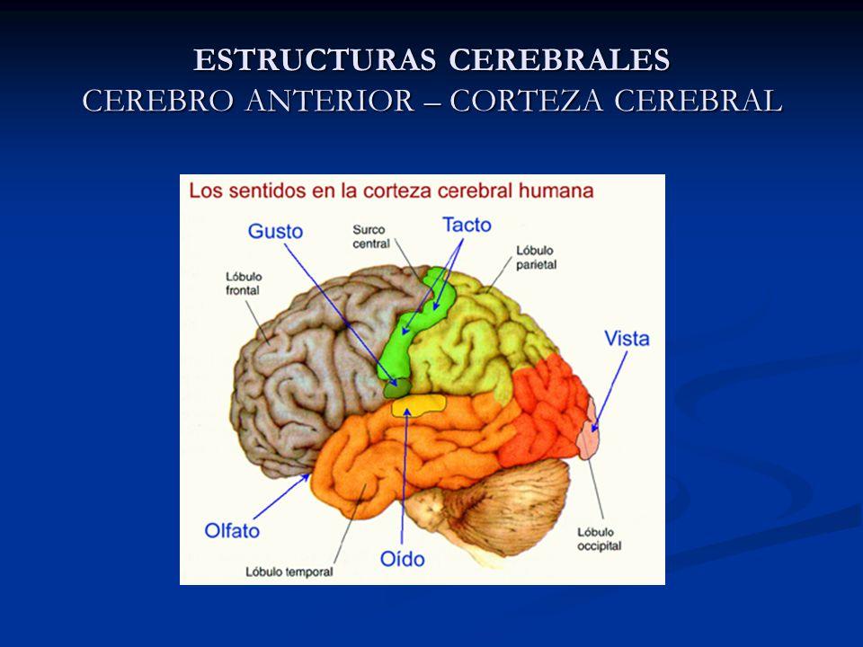 Capítulo 1 Principales Estructuras Cerebrales Ppt Descargar