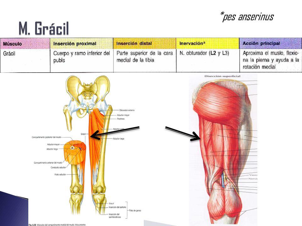 Increíble Anatomía Muslo Medial Imágenes - Anatomía de Las ...