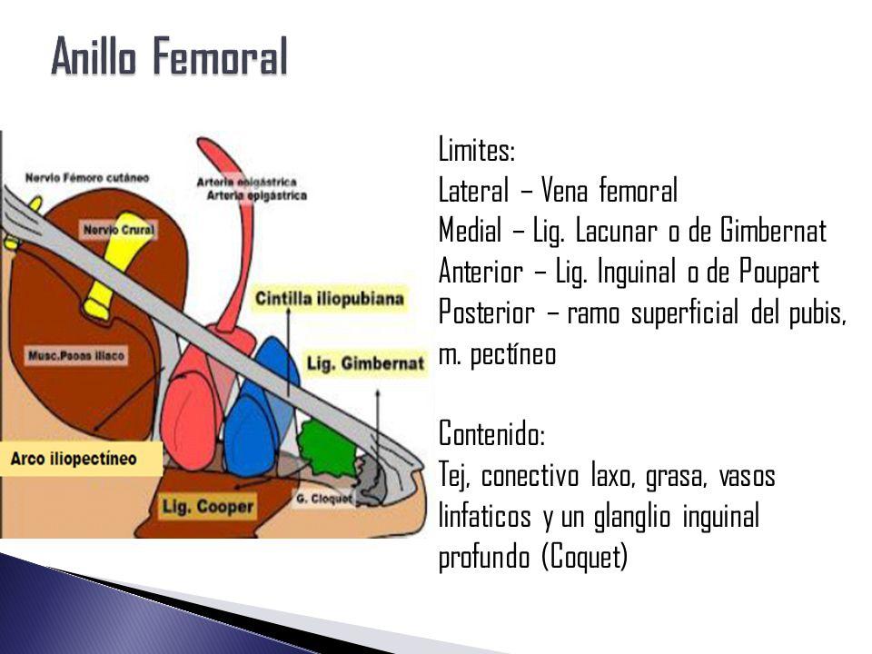 Muslo Curso Intensivo de Anatomía 2014 Oscar Pérez Ángel - ppt video ...