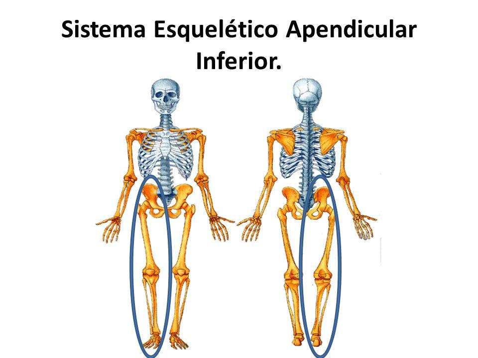 Dorable Sistema Esquelético Ilustración - Imágenes de Anatomía ...