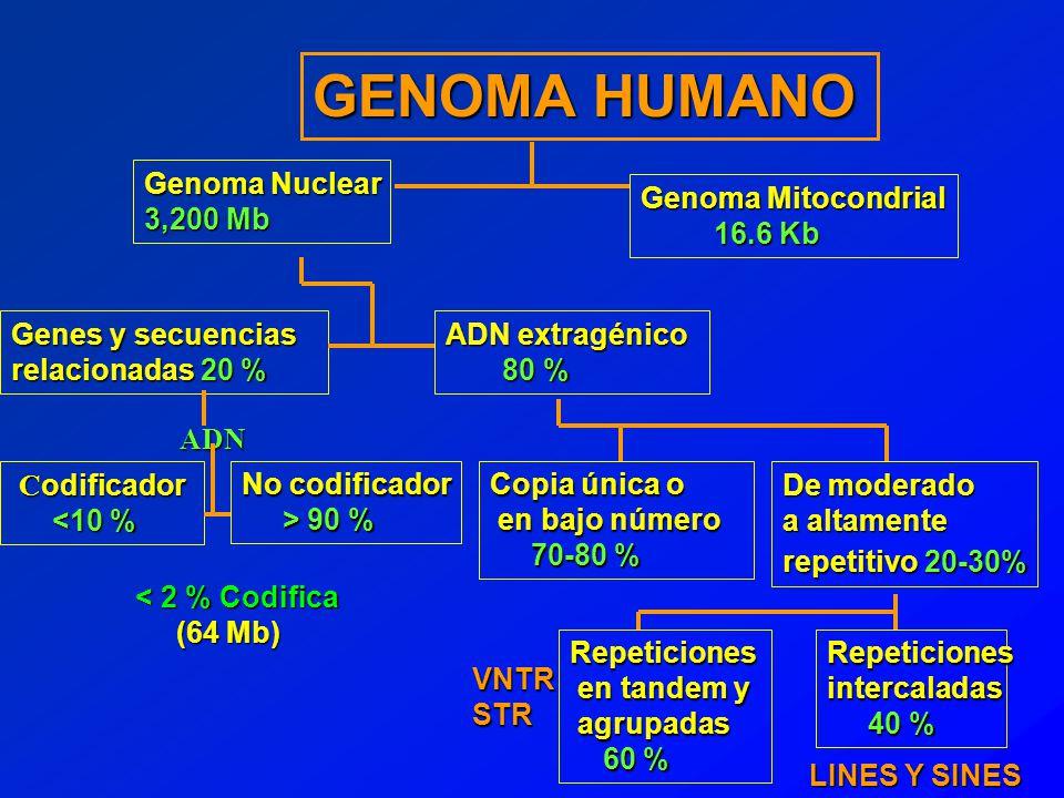 Genoma Humano Y Talasemias Ppt Video Online Descargar