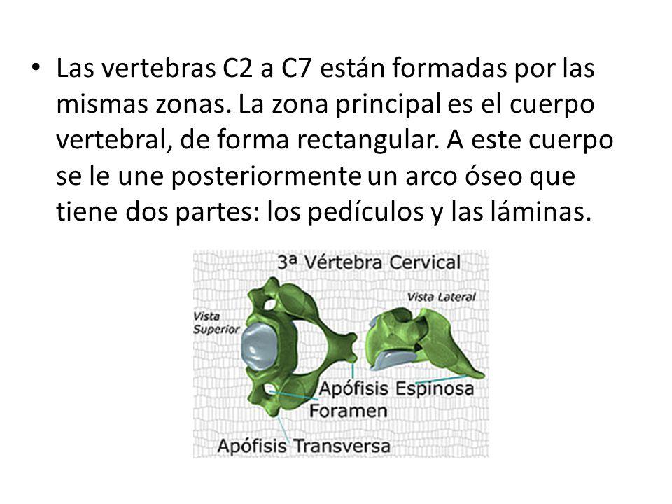 ANATOMIA DE LA COLUMNA CERVICAL - ppt video online descargar