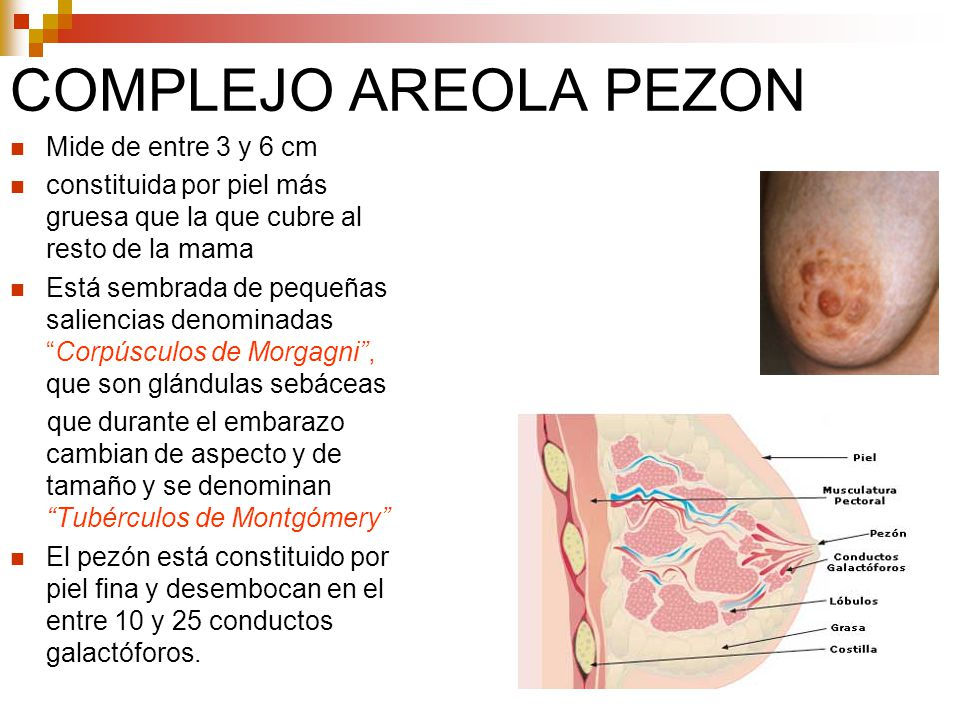 ANATOMIA DE LA MAMA. - ppt video online descargar