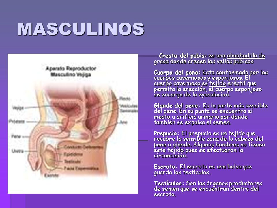 Anatomía sexual ANATOMIA SEXUAL - ppt descargar