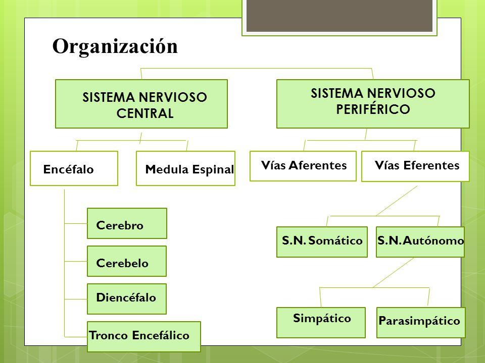Unidad 1: Sistema Nervioso Miss Marcela Saavedra A. - ppt descargar