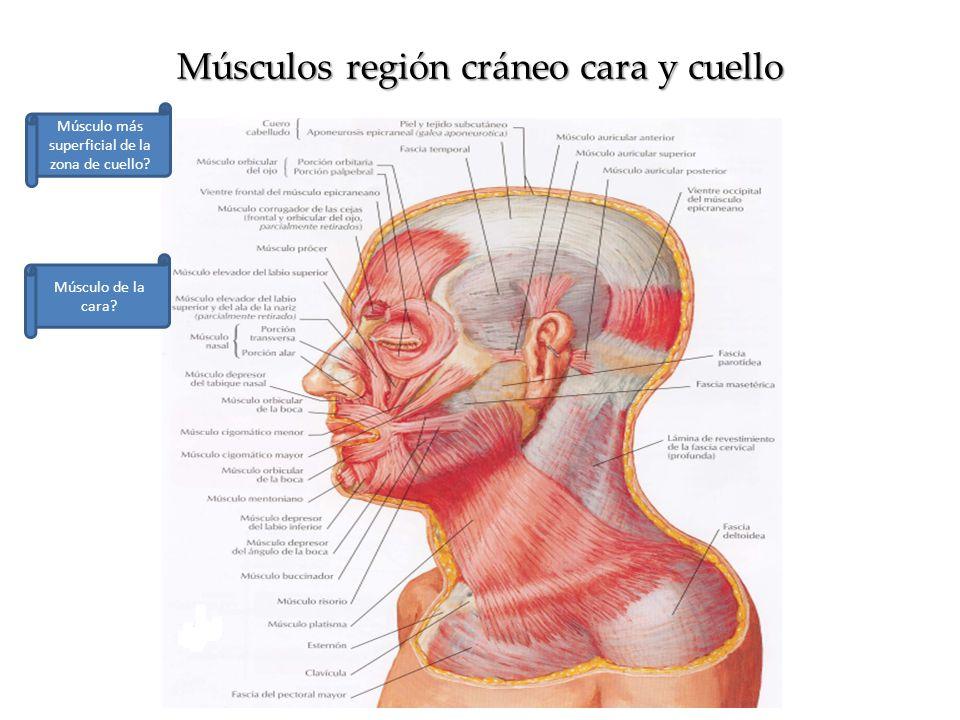 Atractivo Cuerpo Humano Cuello Diagrama Músculo Fotos - Imágenes de ...