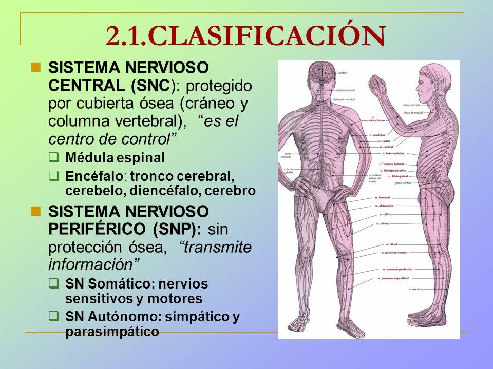 Excepcional Diagrama Del Sistema Nervioso Para Los Niños Ornamento ...