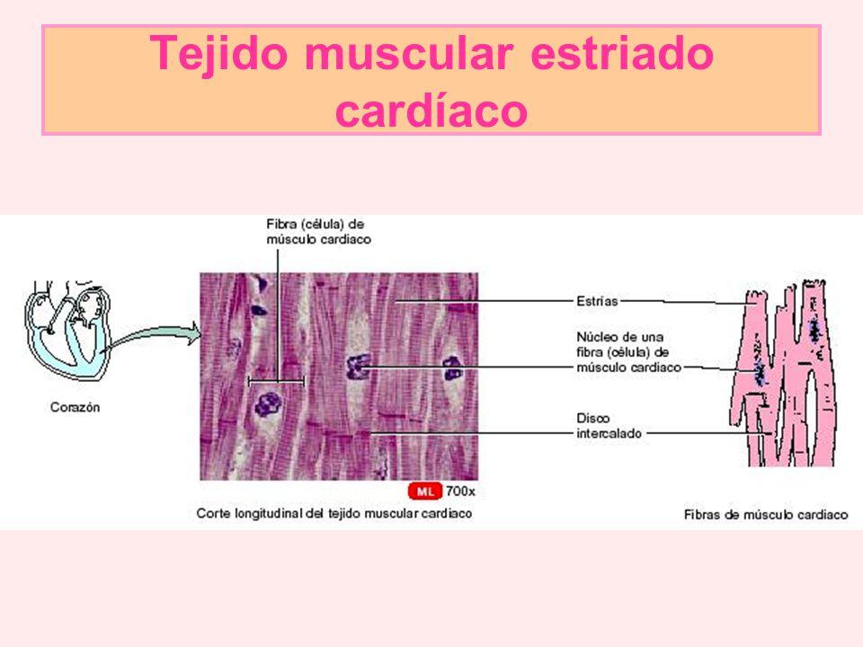 Hermosa Forma De La Célula Del Músculo Cardiaco Colección - Anatomía ...