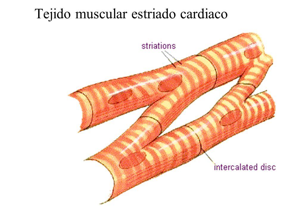 Vistoso Tejido Muscular Cardiaco Adorno - Anatomía de Las ...