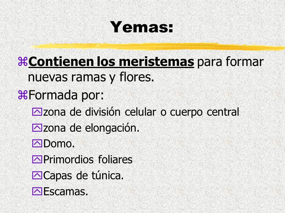YEMAS Anatomía vegetal.. - ppt video online descargar