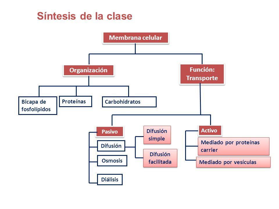 Modelo De Organización Transporte A Través De La Membrana