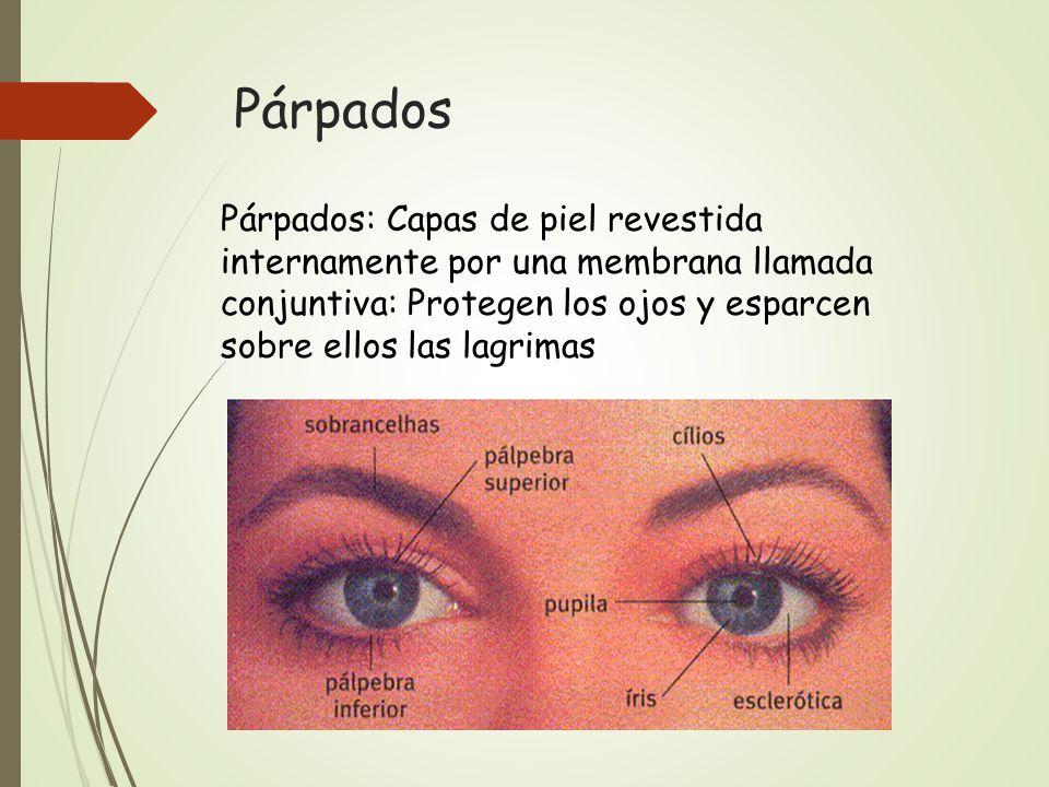 Dorable Anatomía De Los Párpados Friso - Imágenes de Anatomía Humana ...