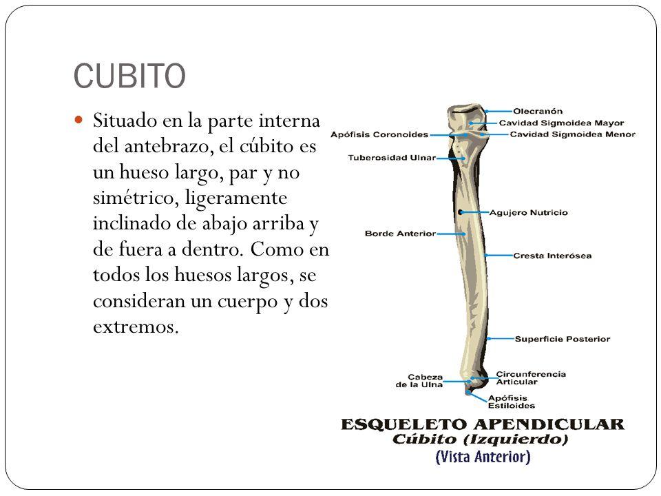 Anatomía Miembro Superior - ppt descargar