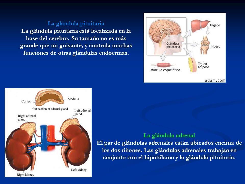 Sistema Endocrino. - ppt descargar