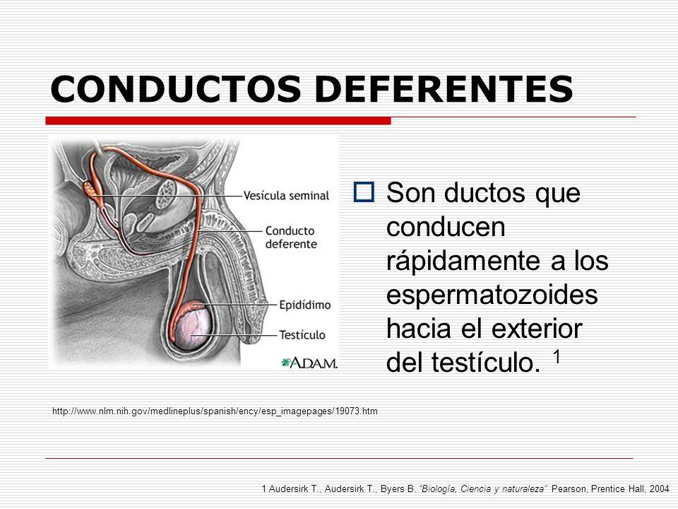 Magnífico Definir Conductos Deferentes Embellecimiento - Anatomía de ...