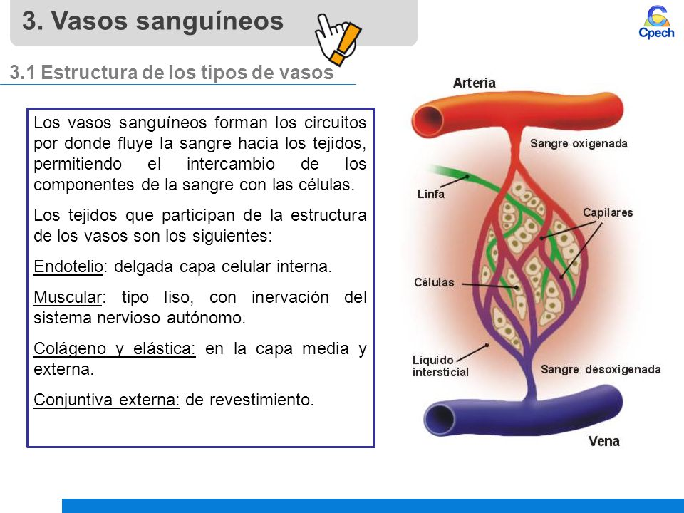Sistema cardiovascular: sangre y vasos sanguíneos - ppt descargar