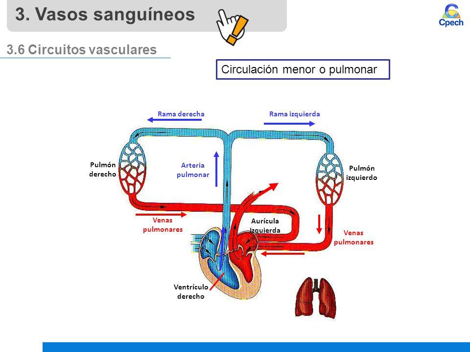 Excelente Los Vasos Sanguíneos Y La Circulación Cresta - Anatomía de ...